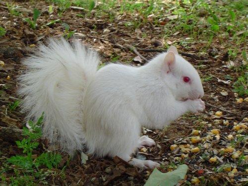 Albino белка