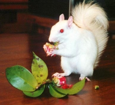 Albino écureuil