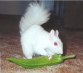 Albino squirrel - squirrels photo