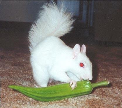 Albino リス