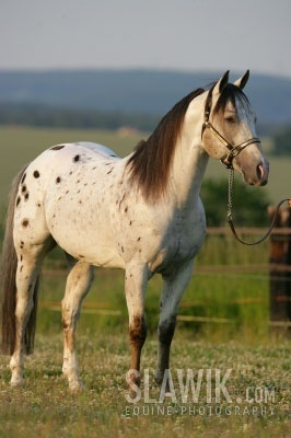 Horses wallpaper containing a lippizan, a dressage, and a horse trail titled Appaloosa