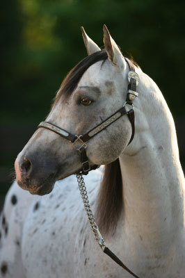 Horses wallpaper with a lippizan entitled Appaloosa