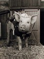 Arnold - pigs photo