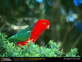 Australian King Parrot - parrots wallpaper