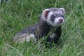 Baby Ferret in the Grass