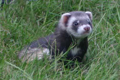 Baby ferret, chororo-kaya in the nyasi
