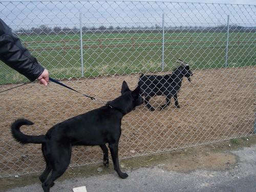 Black Alsation with Goat
