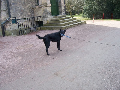Black GSD at château