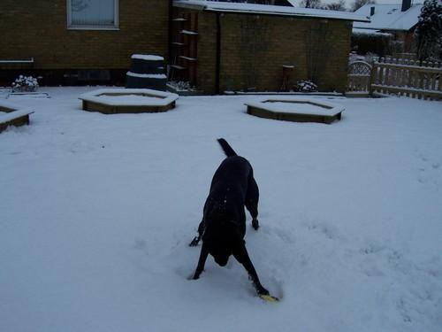 Black GSD in Snow