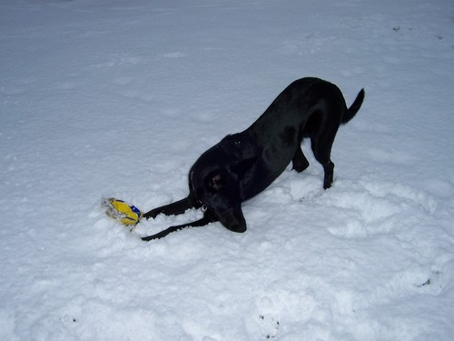 Black GSD in Snow