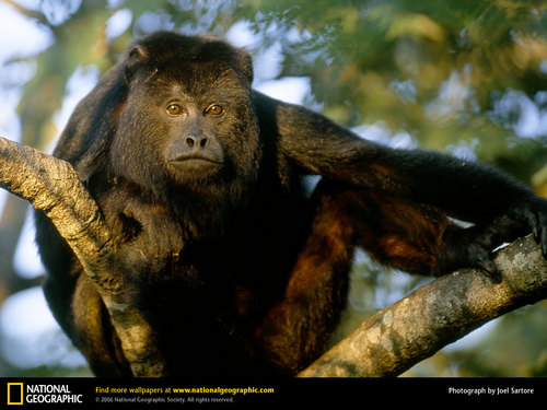 Black Howler Monkey - primates Wallpaper