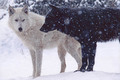 Black and White - wolves photo