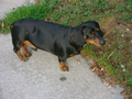 Brother now walking - dachshunds photo