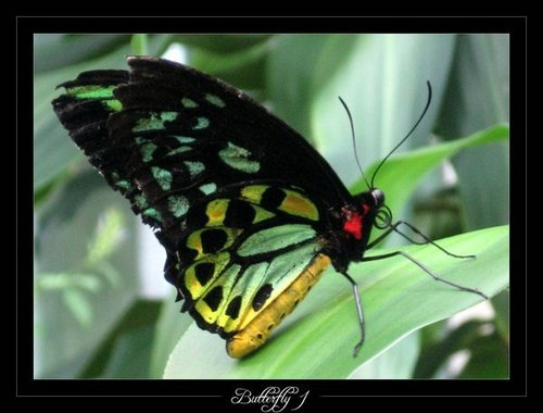 butterfly, kipepeo