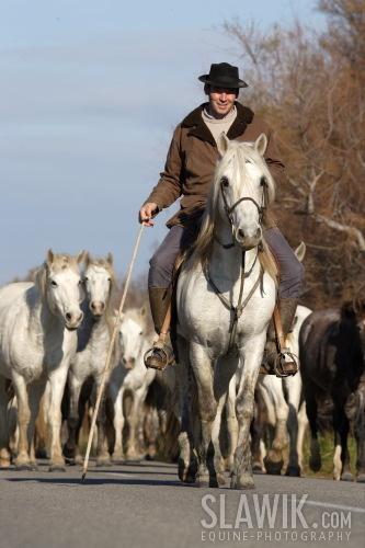 Camargue Ponies