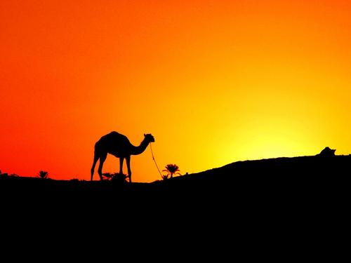 Camel In The Sunset - egypt Wallpaper