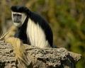 Colobus Monkey - primates wallpaper