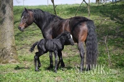 Connemara пони