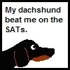 Dachshunds photo called Dachshund SAT