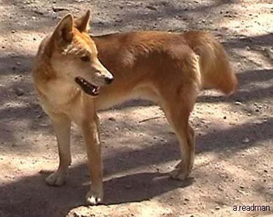 Delightful Dingoes