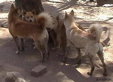 Delightful Dingoes