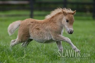 http://images1.fanpop.com/images/image_uploads/Falabella-horses-1256717_400_267.jpg