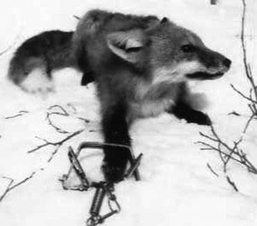 renard in Trap