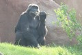 Gorillas - primates photo