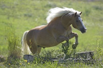 Horses wallpaper called Haflinger