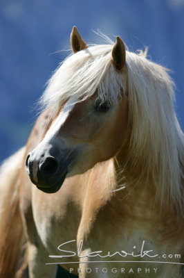 Horses wallpaper entitled Haflinger