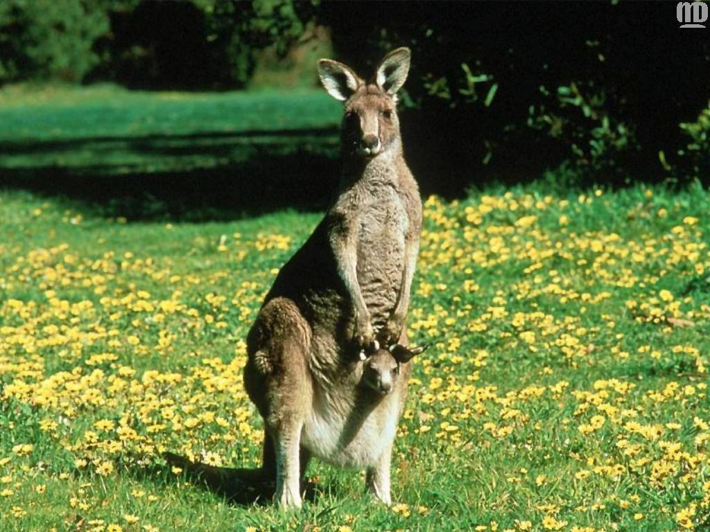 The animal kingdom kangaroo joey
