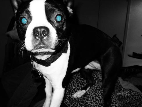 Katie - Boston terrier