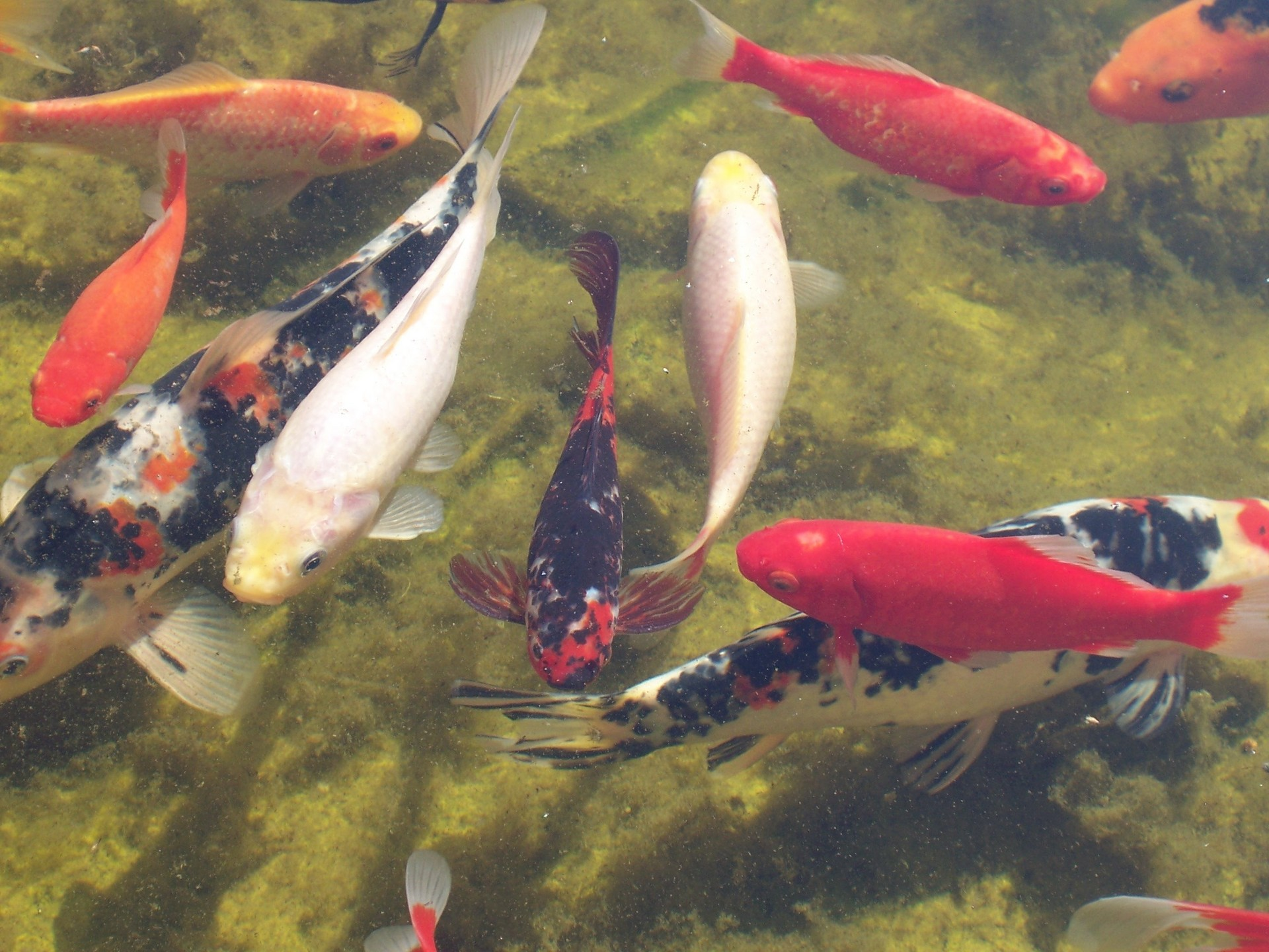 Koi goldfish fish wallpaper 1145588 fanpop for Koi goldfisch