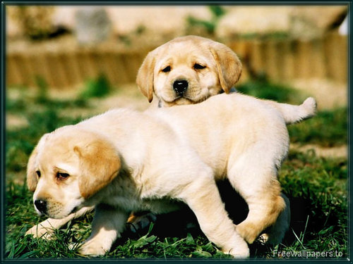 Dogs Wallpaper Titled Labrador Puppies