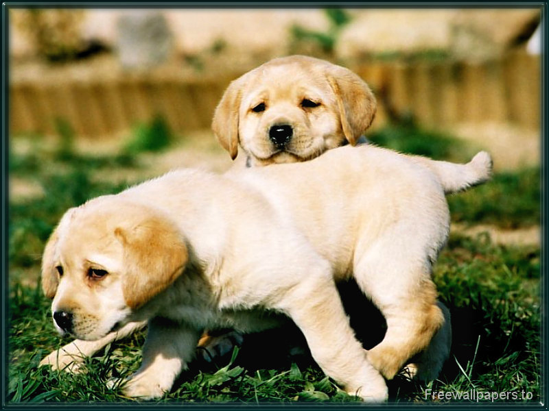 puppies wallpapers. Labrador puppies