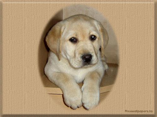 Labrador cún yêu, con chó con