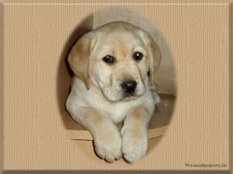 Best Dog Food For Labrador Puppies In India