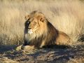 Lion photos - all-about-lions photo