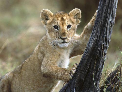 Lion các bức ảnh