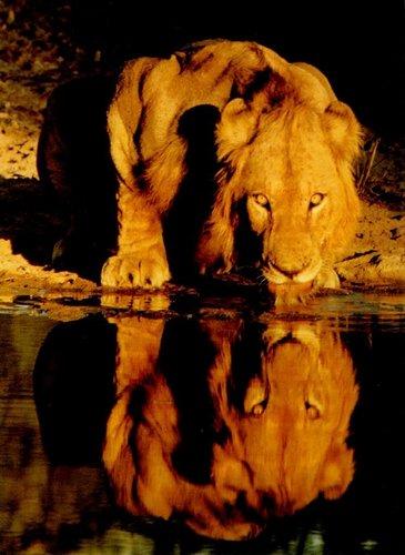 Lion фото