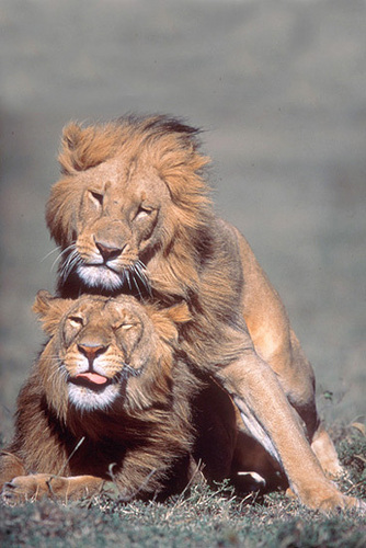 Lions - lions Photo