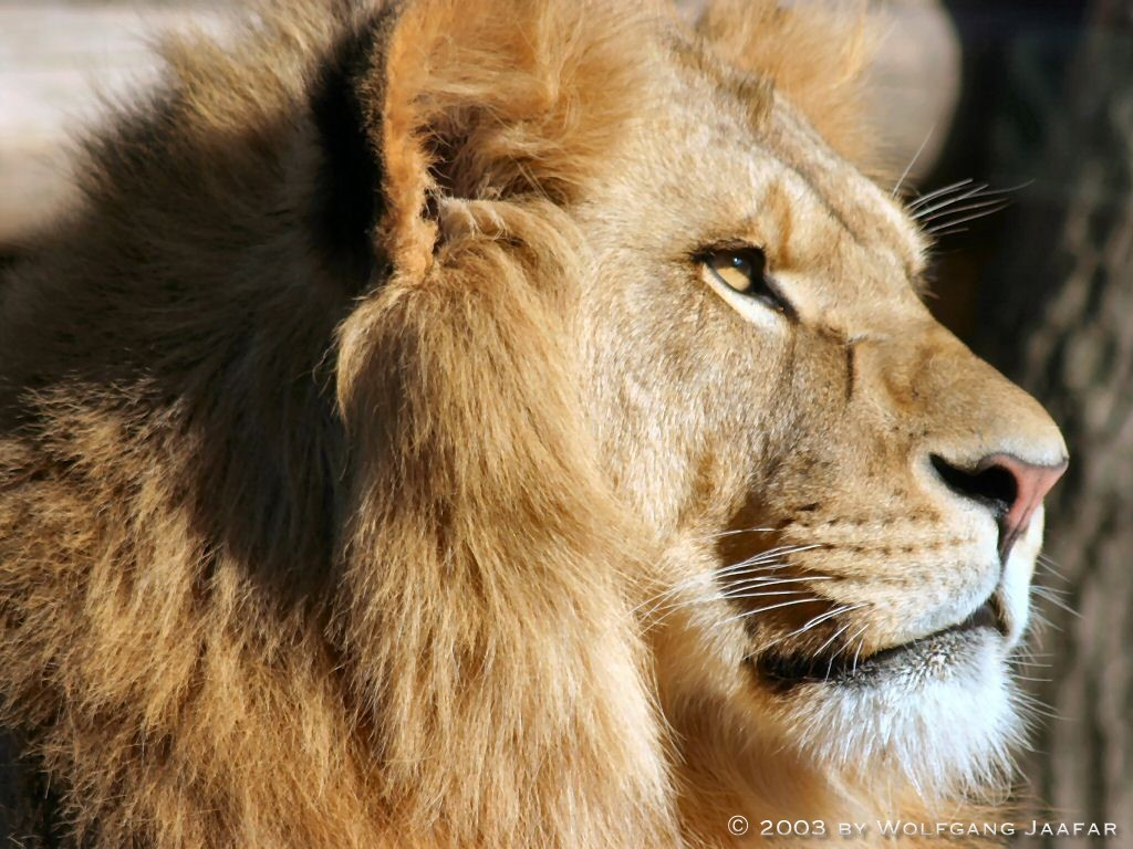 Lions images Lions wal...
