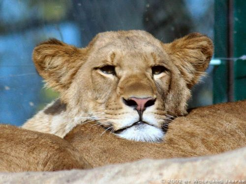 Lions پیپر وال called Lions