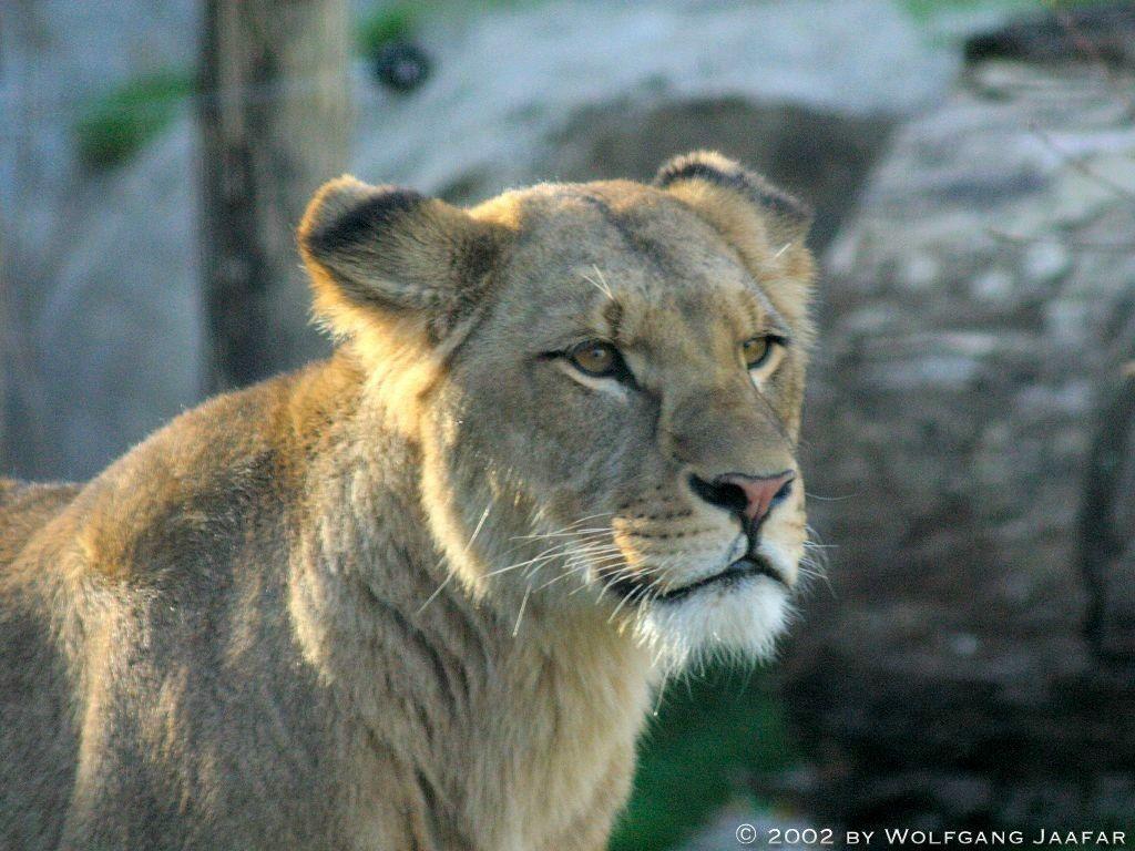 Lions - Lions Wallpape...
