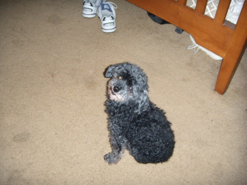 Molly - Toy Poodle