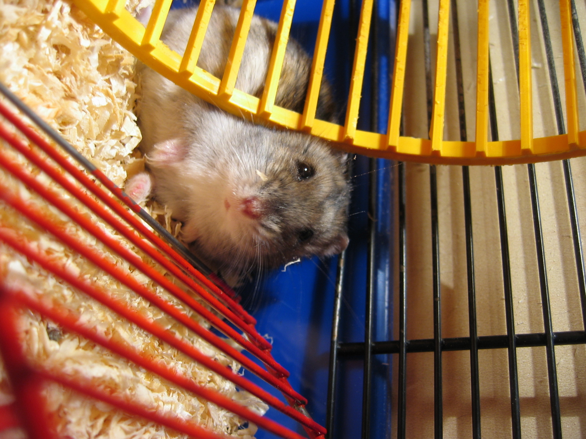 My Hamster Batman
