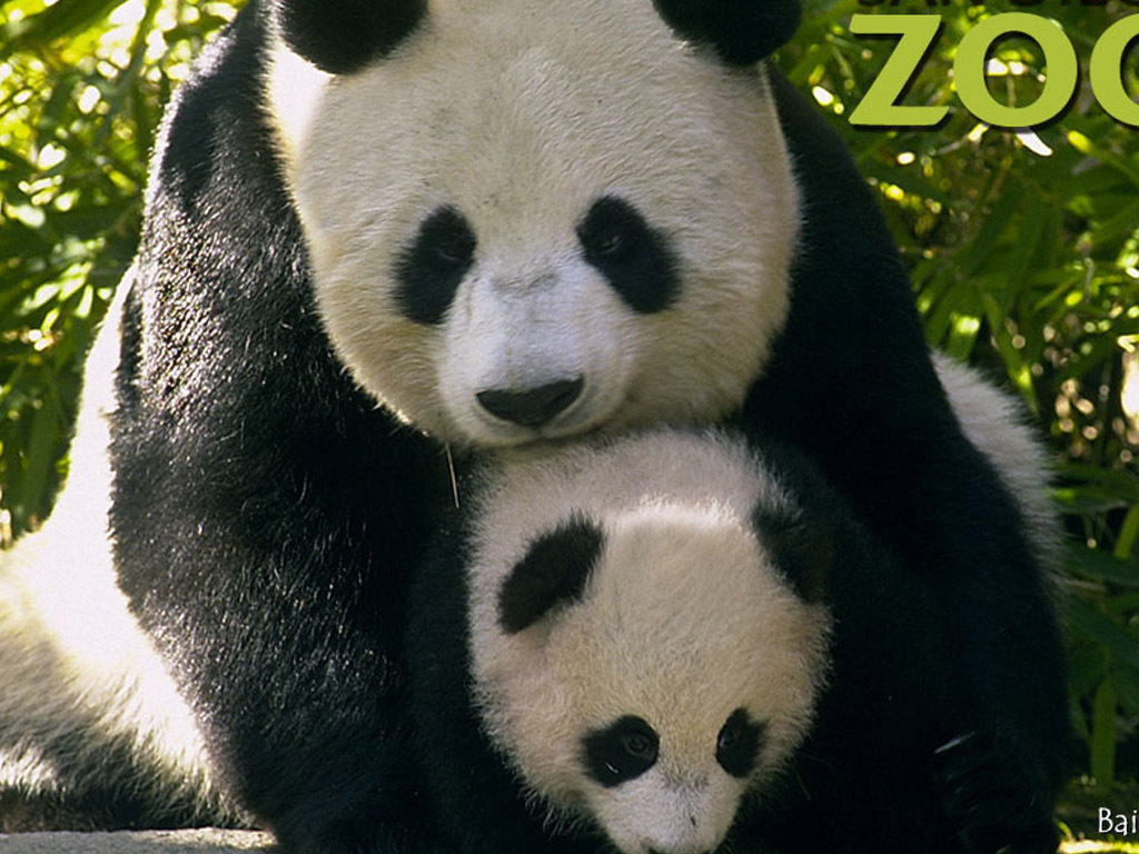 Panda & baby - The Animal Kingdom Wallpaper (1139252) - Fanpop Baby Cute Seal Animal
