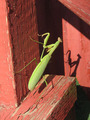 Praying Mantis - photography photo