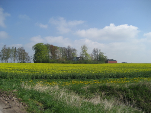 Rapeseed Fields in Sweden
