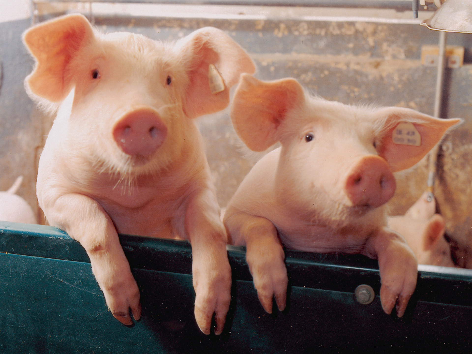 Pigs Images Two Little Piggies HD Wallpaper And Background Photos